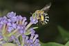 Blue Banded Bee IMG_2191AA (Kool bee) Tags: australiannativebees ballandean bees bluebandedbee amegillazonamegillaasserta