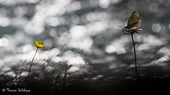 """ Bubbles "" (Thomas Delahaye) Tags: thomas delahaye papillon butterfly bokeh canon proxy macro bubbles gazé savoie aporia crataegi papillons butterflies ngc"