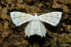 Epiplema fulvilinea (Hampson, 1891) (Ryan Brookes) Tags: uraniidae epipleminae epiplema epiplemafulvilinea westernghats maharashtra india moth nikon