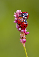 Ladybirds Coccinella Septempunctata (Ivan Lynas Nature Photography) Tags: