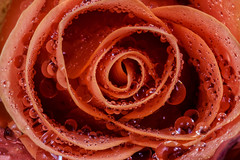 Tropfentreffen (in explore) (tan.ja1212) Tags: rose tropfen orange blume makro drops flower macro