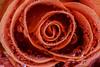 Tropfentreffen (tan.ja1212) Tags: rose tropfen orange blume makro drops flower macro
