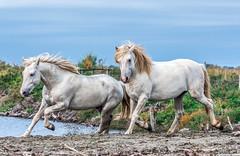 2016 Two Camargue Stallions (23) (maskirovka77) Tags: saintlaurentdaigouze languedocroussillonmidipyrén france languedocroussillonmidipyrénées fr stallion stallions whitehorse whitehorses whitestallion whitestallions createaway photoworkshop