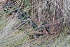 SLN_4292 (sonja.newcombe) Tags: snake redbelliedblacksnake australia wildlife snek