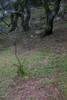 山中遊056 (kingston Tam) Tags: moss grass path hillside hiking field bigtree oddtree garden nature fujifilmxt1