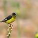 Lesser Goldfinch (Jonah Benningfield) Tags: