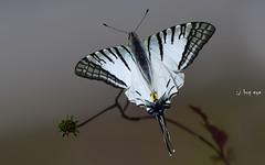 ผีเสื้อหางดาบลายแว่น Graphium mandarinum kimurai / The Spectacle Swordtail (bug eye :) Thailand) Tags: butterfly insect bugeye rare wings lovely animals wildlife doiinthanon chiangmai thailand