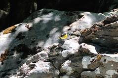 Bergeronnette des ruisseaux (OlivierGa) Tags: hautesavoie servoz gorges rivière diosaz motacillacinerea bergeronnettedesruisseaux bergeronnette oiseau