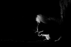 Red squirrel (Mike Mckenzie8) Tags: sciurus vulgaris scotland scottish britain british highland cairngorm forest woods woodland pine trunk bark mammal wild wildlife rim lighting black background