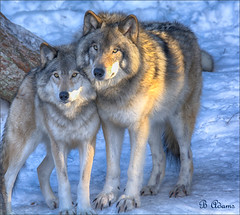 Timber Wolves at Parc Omega (Barb the Fotographer) Tags: wolves winter captive parcomega