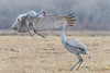 If Your Happy and You Know It....Jump for Joy. (Happy Photographer) Tags: sandhill crane dance love happy colorado nature wildlife bird
