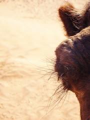 Oeil de dromadaire (vu de face) (Des Goûts et des Couleurs) Tags: cils yeux eyes regard look desgoutsetdescouleurs charlottedumas blog dgdc animal animaux maroc sahara morocco desert mhamid orange bleu blue ciel dune dunes liberté calme silence isolement dromadaires caravanes bédouins aventure