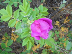 1394 (en-ri) Tags: rosa rose sony sonysti aiuola foglie leaves