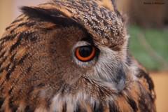Owl (Nourah.A.Edhbayah (Super Flower♥إظبيه)) Tags: طائر بومه بوم الكويت اظبية عبدالله نوره q8 kuwait edhbayah abdullah nourah owl