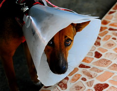 ,, Angel Eyes ,, (Jon in Thailand) Tags: cone angeleyes spayed dog k9 jungle nikon d300 nikkor 175528 conehead eyes nose ears littledoglaughedstories