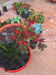 20170303_065820_HDR (Rodrigo Ribeiro) Tags: flower flor jardim jardinagem garden gardening nature natureza red vermelho suculenta