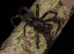 IMG_0298 (Roving_photographer) Tags: misgolas villosus sydney brown trapdoor spider spinneret atrax funnelweb male macquariepark nsw australia