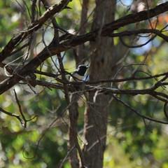 Myiagra rubecula ♂ (Diana Padrón) Tags: victoria australia bird birds nature naturaleza outdoors belleza bello beautiful relax tatong leaden flycatcher myiagra rubecula ♂