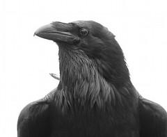 Common Raven (Corvus corax)5