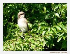 Don't come a step closer! (plamenp) Tags: nature birds shrike redbacked lanius collurio