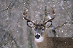 White-tailed Deer Ten Point Buck (Hard-Rain) Tags: trees winter usa snow chicago game tree animals closeup forest illinois woods hiking wildlife hunting hike deer antlers rack trophy forestpreserve buck mountainbiking mammals stalk palos mammalia hunt whitetail deerhunting whitetailed whitetaileddeer odocoileus odocoileusvirginianus cervidae chordata artiodactyla 10point bullfroglake explore11 chicagoforestpreserve palosforestpreserve