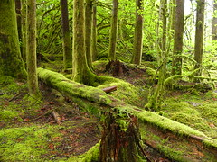 Again in the land of the mushi (saska01) Tags: camping forest moss rainforest stump bakerlake mtbakersnoqualmienationalforest