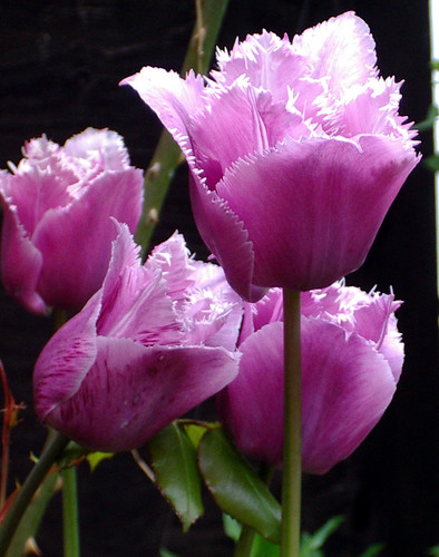 Purple fringed tulips