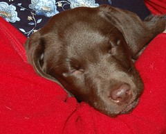 It's a dog's life!! (Jaxpix50) Tags: red puppy sleep dogslife chocolatelabrador djuma jaxpix50 jackiehsouth
