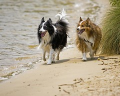 The Boys at the Beach (kwilliams) Tags: rescue max sheltie freddie dogpark pensacola shetlandsheepdog shelties furkids sigma50500 sheltierescue kwilliams