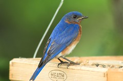 Blue, Blue, Blue-Bird (Momba (Trish)) Tags: blue bird topv111 ilovenature nikon nikond70 100views bluebird nikkor momba easternbluebird sialiasialis 80400mmf4556dvr interestingness466 i500 mostatebird nystatebird nikonstunninggallery specanimal easternbluebirdnewyorksialiasialis easternbluebirdmissourisialiasialis explore04june2006