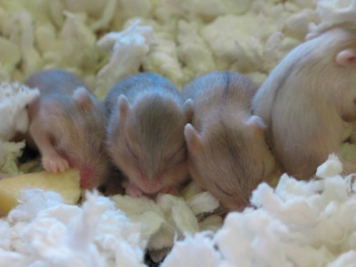 Family of baby hamsters