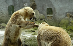 bear fight (bea2108) Tags: bear animal animals zoo