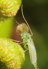 """Midge (Chironomus-plumosus) • <a style=""""font-size:0.8em;"""" href=""""http://www.flickr.com/photos/57024565@N00/166491044/"""" target=""""_blank"""">View on Flickr</a>"""