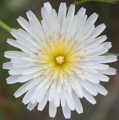Mandala (wanderingnome) Tags: white 510fav dandelion explore wildflowers asteraceae venturacounty theworldthroughmyeyes thebiggestgroup santaanaroad ©wanderingnomez woollydesertdandelion malacothrixfloccifera 060906 410explorepage72206