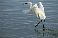Dancing en pointe ♫ on the water... ♫♫ little egret from bali ♫♫ (bocavermelha-l.b.) Tags: littleegret egrettagarzetta tc14eii 80200mmf28d garçabrancapequena 77mmcircularpolarizingfilter inbali foundinnusadua south–china–sea inindonesia tôôt likeaballerina shootingwithd70s comoumadançarina wingsinflight asasemvôo эгрет 雪に覆われたシラサギ 多雪的白鷺 mаленькийэгрет
