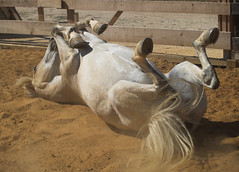 HOOVES UP (peke_cheeks) Tags: ranch horse soe loh hooves aplusphoto