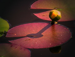 Floral sundial (:Linda:) Tags: shadow flower reflection texture water germany pond village waterlily lily thuringia petal pacman bud lilypad reflexion schatten seerose waterplant sonnenuhr naturalpattern wasserpflanze similarto naturaltexture resembling hnlich