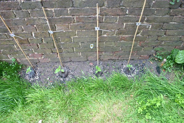 Sunflower Competition - day 16