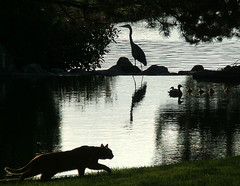 Enjoying The End Of The Day..... (shesnuckinfuts) Tags: sunset bird heron animals silhouette cat reflections duck pond backyard dusk quality ducklings animalplanet greatblueheron natures kentwa featheryfriday instantfave saywa specnature experiencewa animaladdiction shesnuckinfuts 30faves30comments300views anawesomeshot thecatwhoturnedonandoff