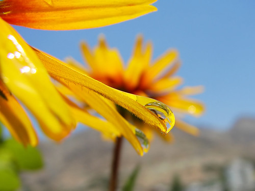 Yellow Daisy and the Droplet