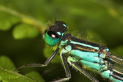 """Blue Tailed Damselfly (ischnura elegans) • <a style=""""font-size:0.8em;"""" href=""""http://www.flickr.com/photos/57024565@N00/171991918/"""" target=""""_blank"""">View on Flickr</a>"""