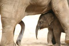 ... dad?? (TuLpFiCTioN) Tags: elephant love animal sex zoo oliefant slurf: flickrhivemind.net/User/TuLpFiCTioN/Interesting