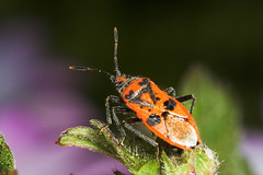 """Plant Bug (Coryzus hyoscami) • <a style=""""font-size:0.8em;"""" href=""""http://www.flickr.com/photos/57024565@N00/177678020/"""" target=""""_blank"""">View on Flickr</a>"""
