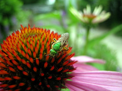Sweat Bee (adamantine) Tags: summer flower garden insect echinacea bee coneflower sweatbee echinaceapurpurea petercristofono augochlorini