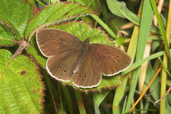 "Ringlet Butterfly (aphantopus hyperan(4) • <a style=""font-size:0.8em;"" href=""http://www.flickr.com/photos/57024565@N00/178331097/"" target=""_blank"">View on Flickr</a>"