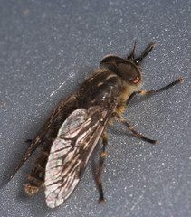 "Cleg-fly or horsefly (haematopota plu(1) • <a style=""font-size:0.8em;"" href=""http://www.flickr.com/photos/57024565@N00/178534808/"" target=""_blank"">View on Flickr</a>"