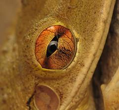 The Eye! (Sean McCann (ibycter.com)) Tags: macro eye 123 321 pop frog s2is treefrog cubantreefrog raynoxdcr250 osteopilusseptentrionalis taxonomy:genus=osteopilus taxonomy:binomial=osteopilusseptentrionalis