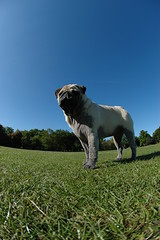 Arthur on green and blue (gazcook) Tags: park blue dog green dogs arthur pug preston pugs moor