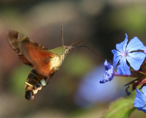 African Humming bird Moth