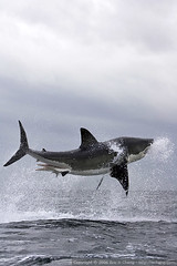 Great White Shark Breach at False Bay (echeng) Tags: southafrica shark seal greatwhiteshark simonstown falsebay breach sealrock capefurseal